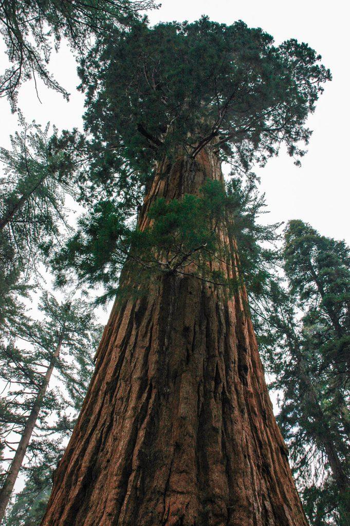 Diesmal: Die Krone eines Sequoias